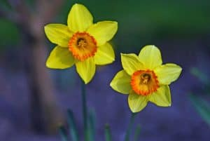 Welsh daffodils as a Welsh national symbol